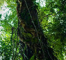 Gunung Mulu National Park: Tree and creeper vines.