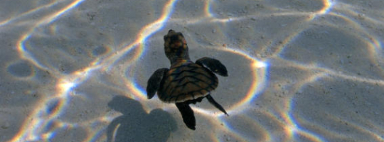 Kuantan Turtle Watching (1D)